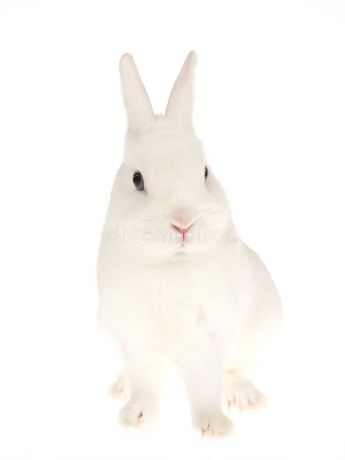 Blauäugiges weißes Netherland zwergartiges Kaninchen, auf Weiß stockfotografie