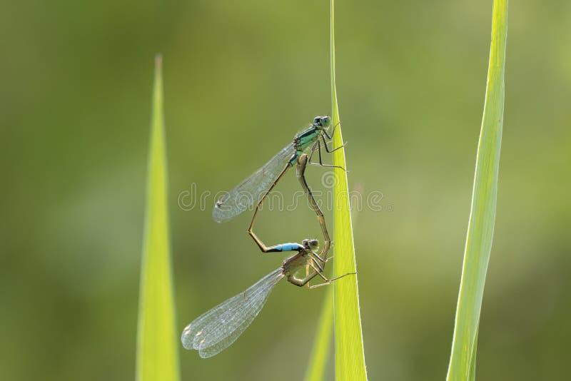 Blau-angebundene Damselfly Ischnura-elegans, die Rad verbinden lizenzfreies stockbild