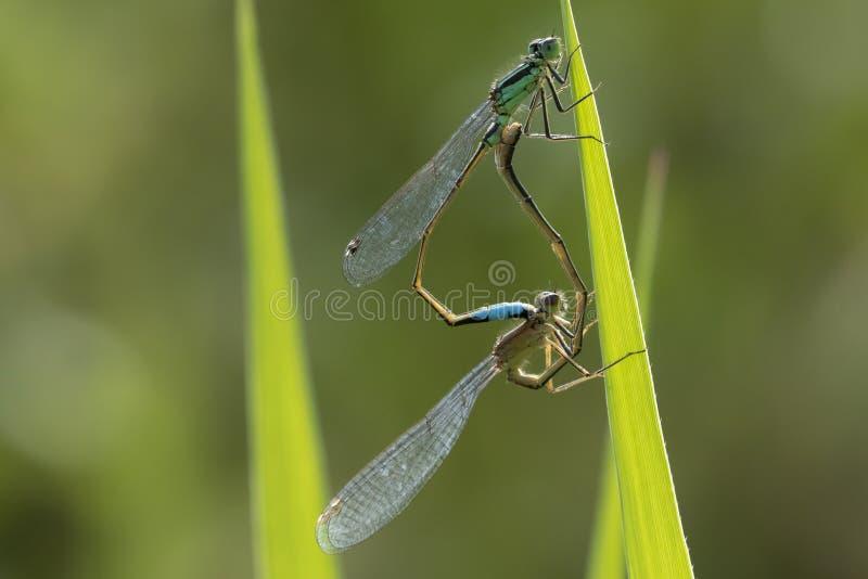 Blau-angebundene Damselfly Ischnura-elegans, die Rad verbinden lizenzfreie stockbilder