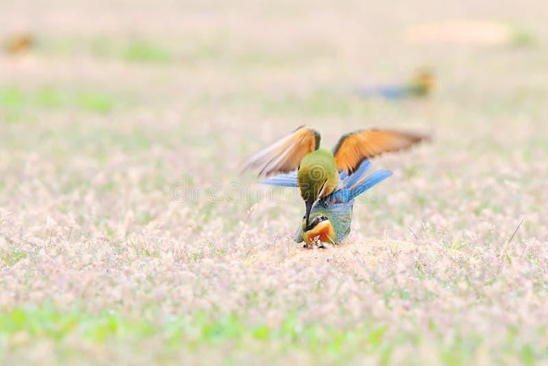 Blau-angebundener Bienenfresser: Merops philippinus lizenzfreies stockfoto