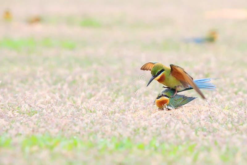 Blau-angebundener Bienenfresser: Merops philippinus lizenzfreies stockbild