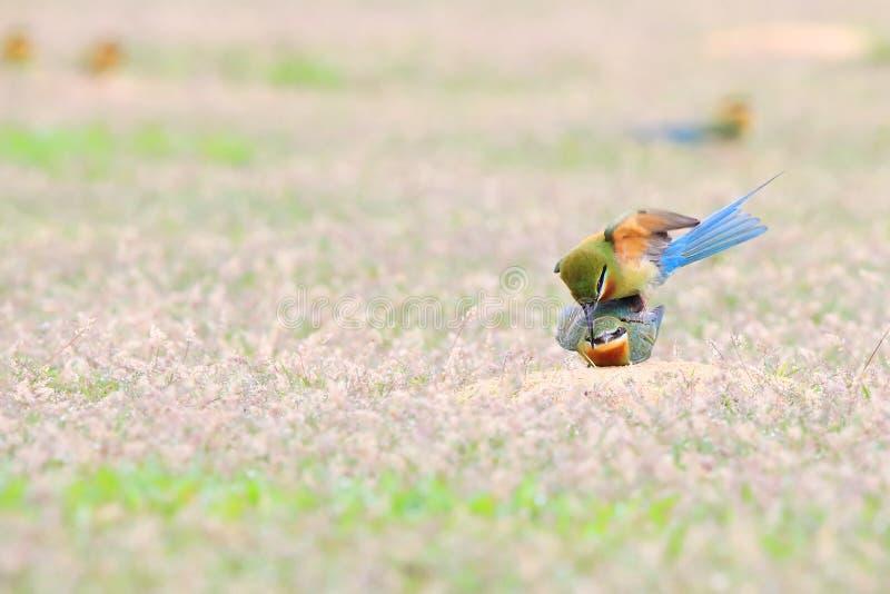 Blau-angebundener Bienenfresser: Merops philippinus stockbilder