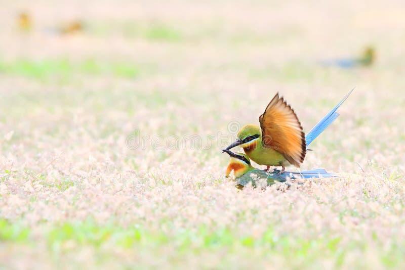 Blau-angebundener Bienenfresser: Merops philippinus stockfoto