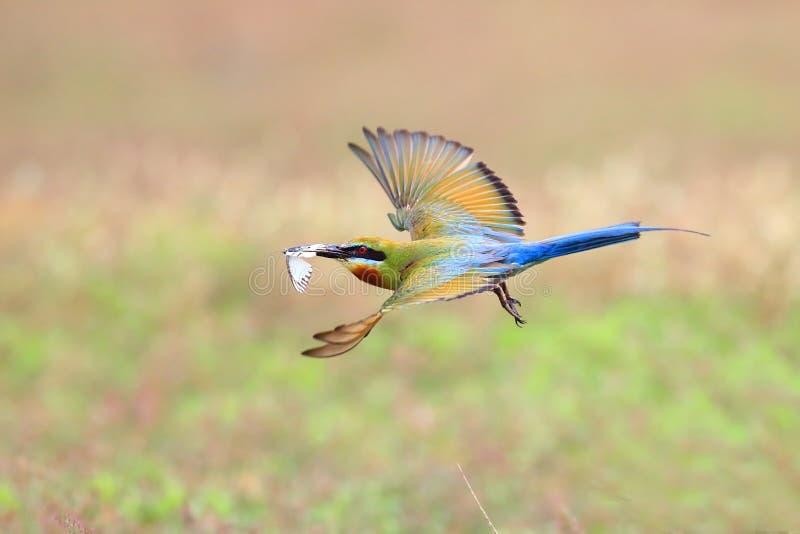 Blau-angebundenes Bienenfresserfliegen stockfotografie