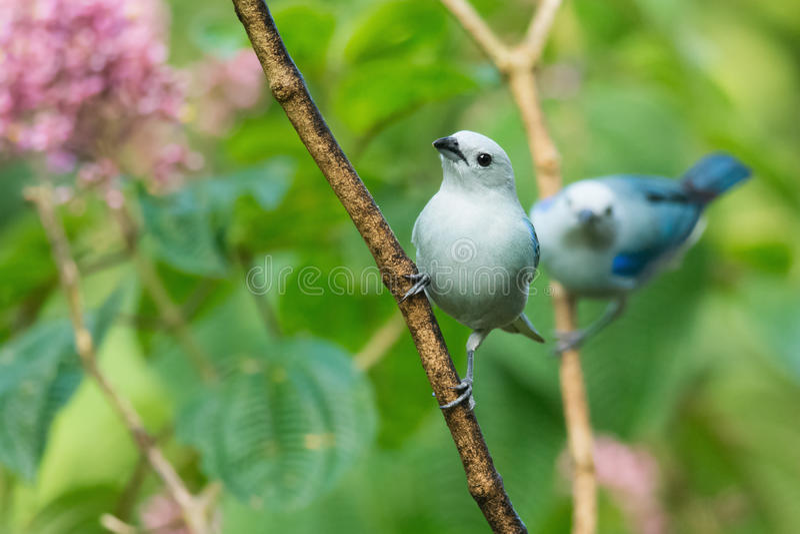 Blau-graue Tanagers stockbilder