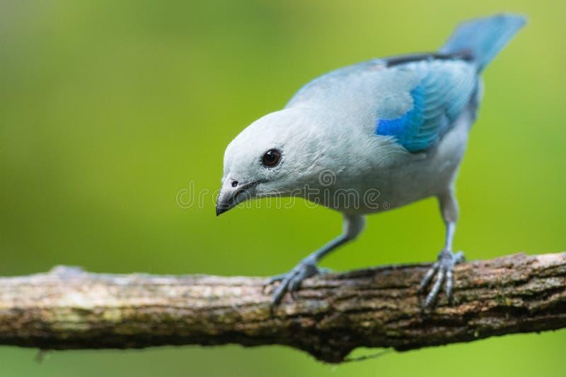 Blau-grauer Tanager stockfotos