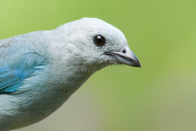 Blau-grauer Tanager stockfotografie
