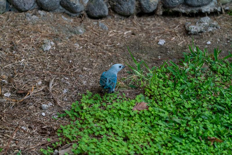 Blau-grauer Tanager ( Thraupis episcopus) in Costa Rica lizenzfreie stockfotografie