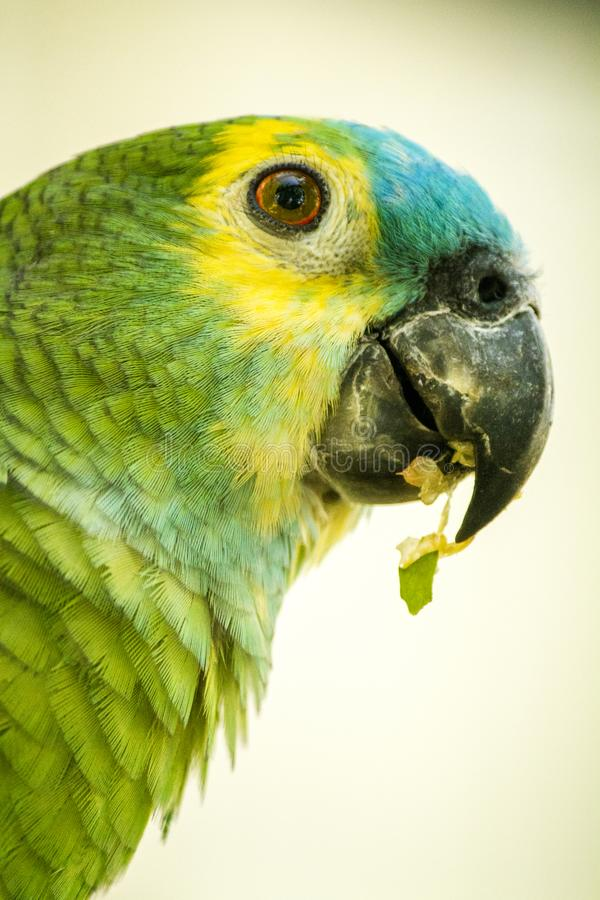 Blau-konfrontierter Amazonas-Papagei stockbild