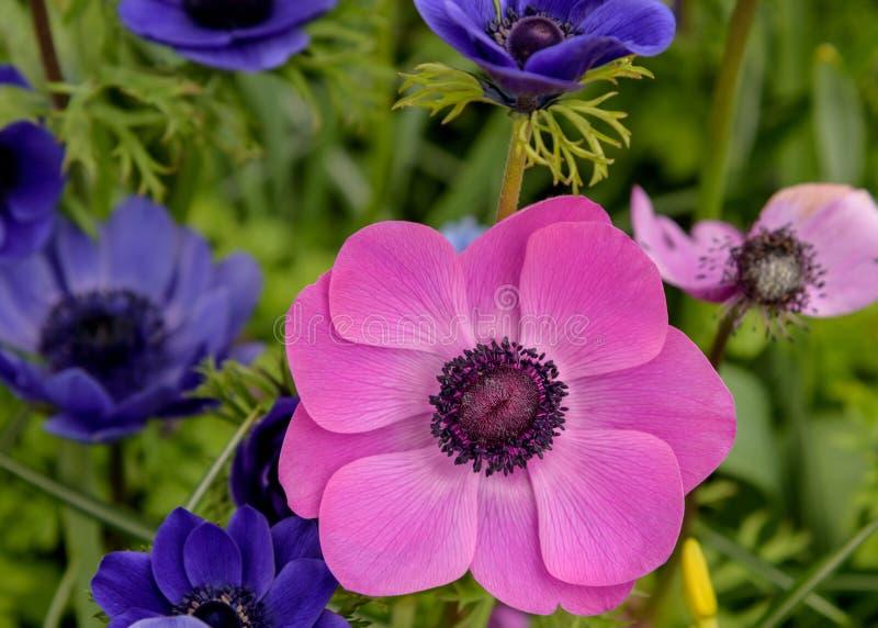 Blau, lila kwitnie Anemonen kolorowych kwiatów ogrodowa wiosna Krajobraz z bliska zdjęcie royalty free