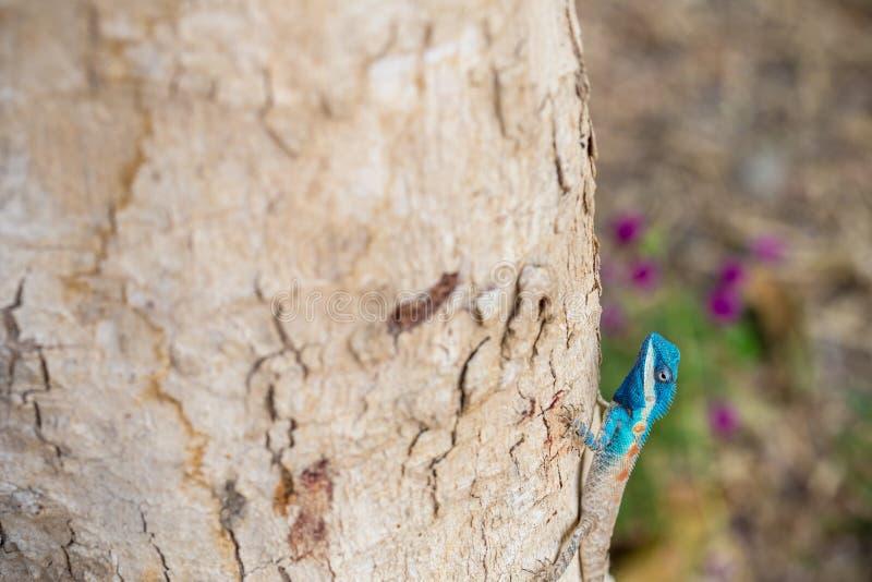 Blau-mit Haube Eidechse lizenzfreie stockbilder
