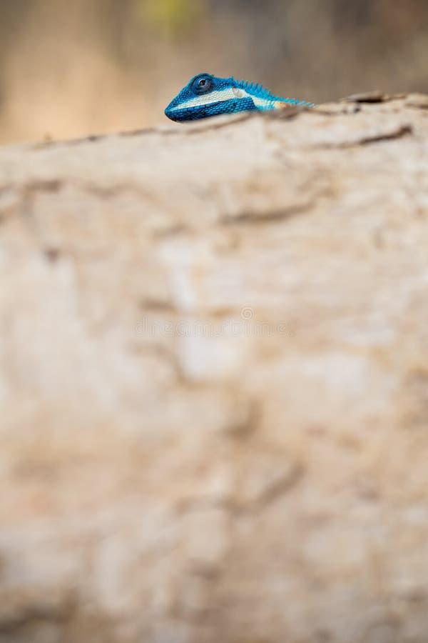 Blau-mit Haube Eidechse lizenzfreies stockbild