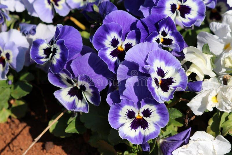 Blau mit wildem Stiefmütterchen der weißen und gelben Mitte oder dreifarbigen kleinen wilden Blumen der Viola mit den hellen Blum stockfotos