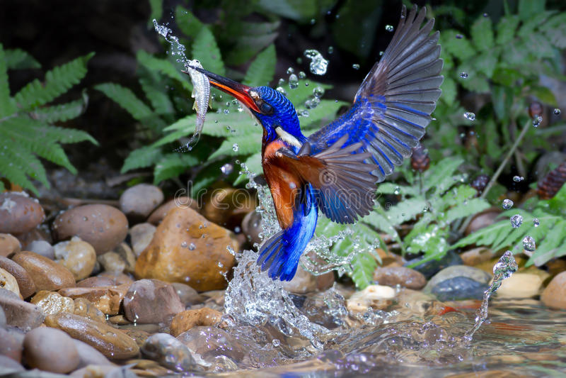Blau-ohriger Eisvogel (Mann) stockfotos