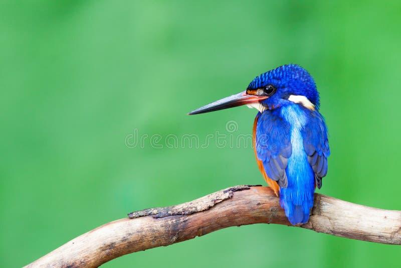 Blau-ohriger Eisvogel (Mann) lizenzfreies stockbild