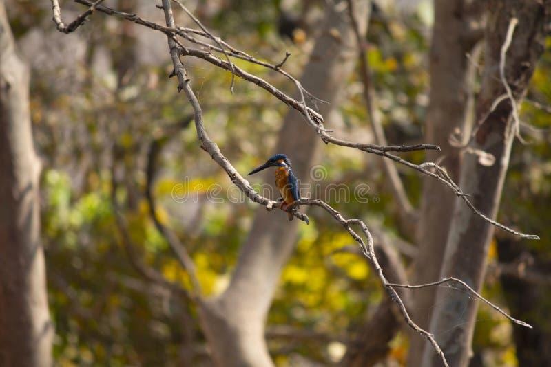 Blau-ohriger Eisvogel, meninting Alcedo, Panna, Madhya Pradesh, Indien stockbild