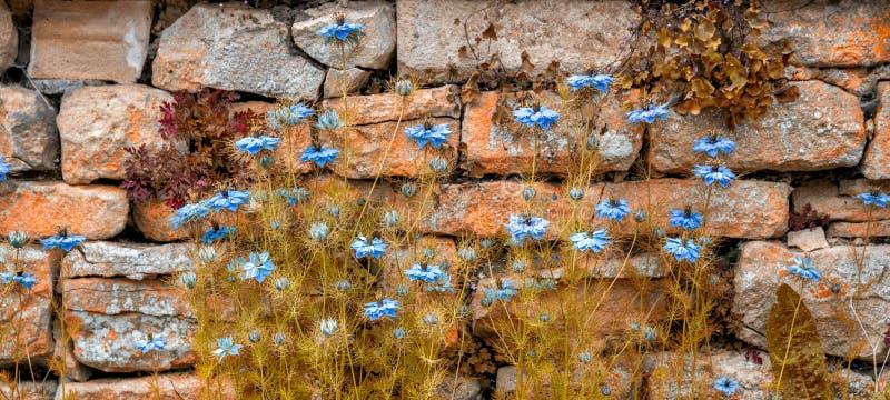 Blau, Sativablume Nigella gegen eine Bruchsteinmauer - Herbst stockbilder
