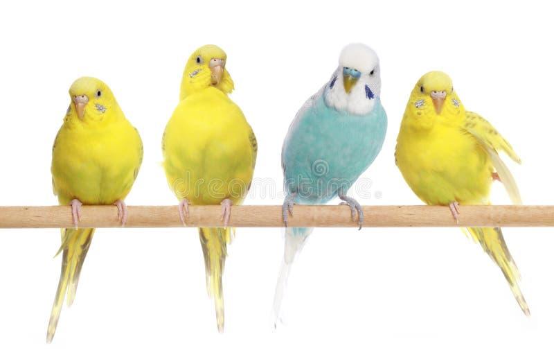 Blau und drei gelbe Budgerigars auf einem Zweig