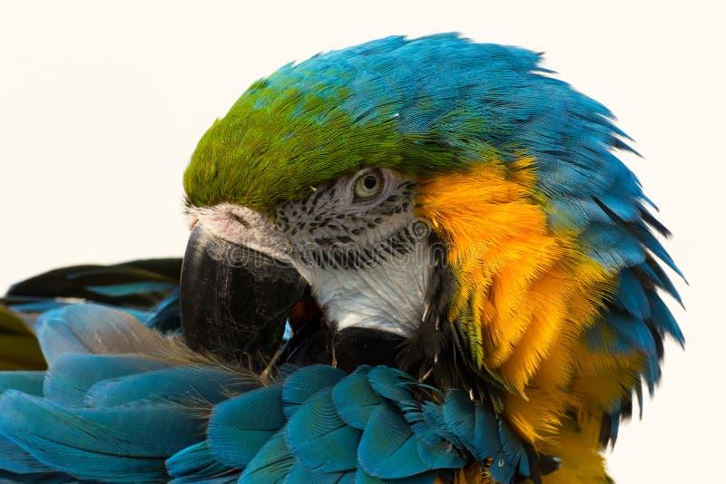 Blau-und-gelber Keilschwanzsittich, Papagei Aronstäbe ararauna stockbild