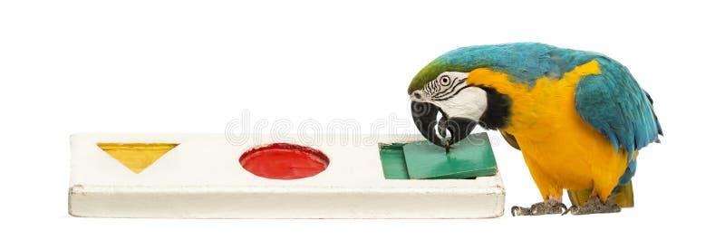 Blau-und-gelber Macaw, Ara ararauna, 30 Jahre alt, spielend mit einem Puzzlespiel stockbild