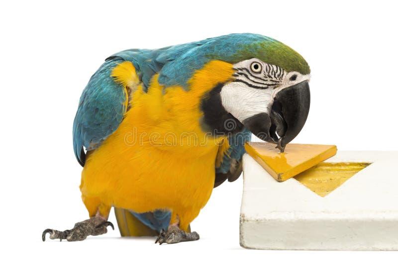 Blau-und-gelber Macaw, Ara ararauna, 30 Jahre alt, spielend mit einem Puzzlespiel lizenzfreies stockbild