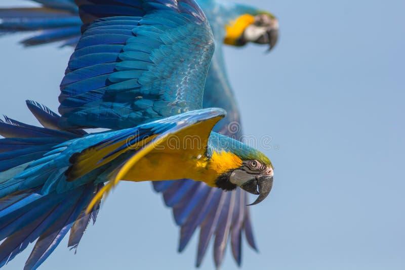 Blau- und Goldkeilschwanzsittich Aronstäbe ararauna Papageienvogelfliegen Wildlif lizenzfreie stockfotografie