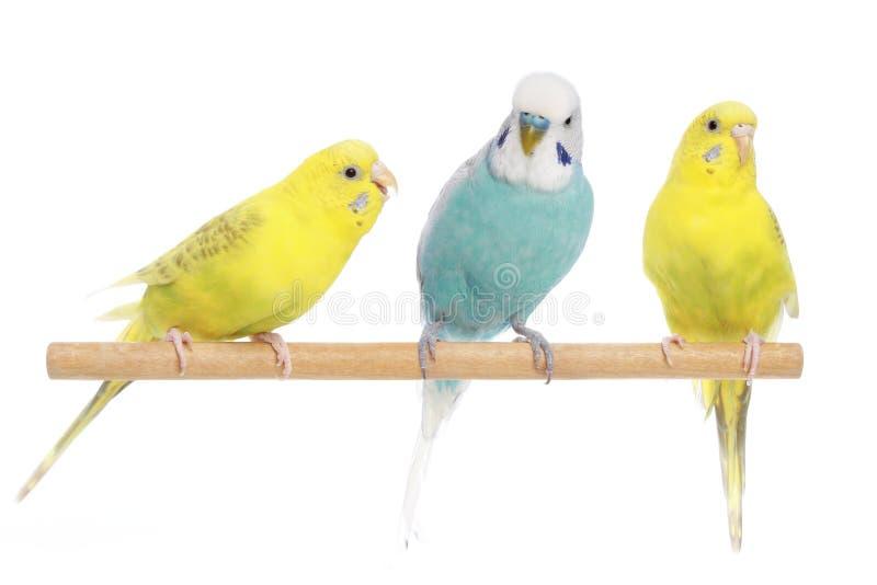 Blau und zwei gelbe Budgerigars auf einem Zweig stockfoto