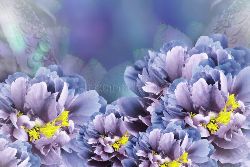 Blau-violette Pfingstrosen des Blumenhintergrundes Blüht Nahaufnahme auf einem Türkis-blau-violetten Hintergrund Tulpen und Winde stockbilder