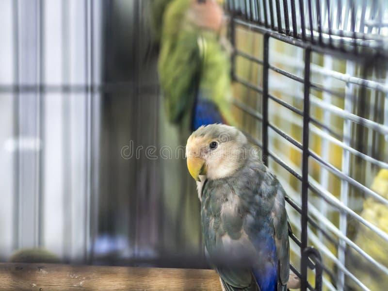 Blau-weiße farbige Wellensittiche der Nahaufnahme, die im Käfig stehen lizenzfreies stockfoto