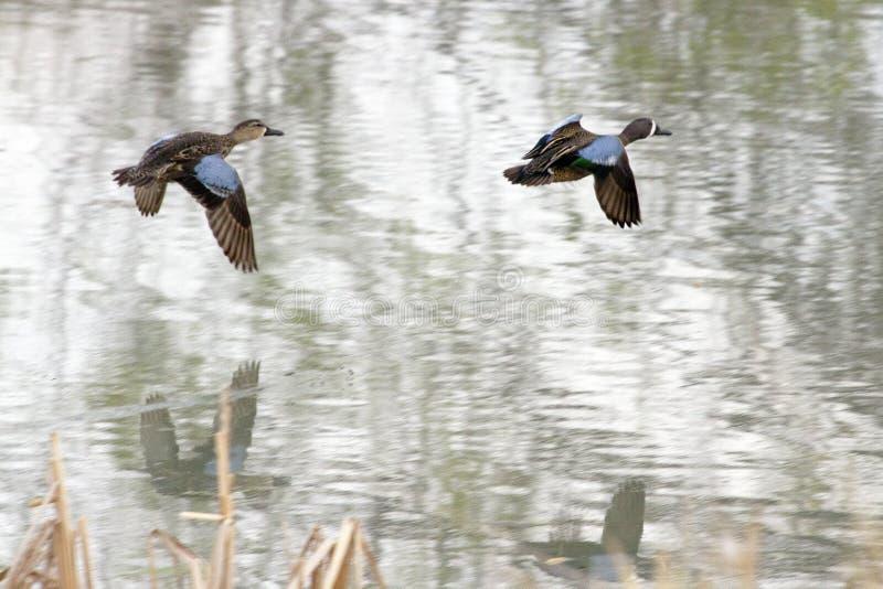Blau-winged Knickente im Flug stockbild