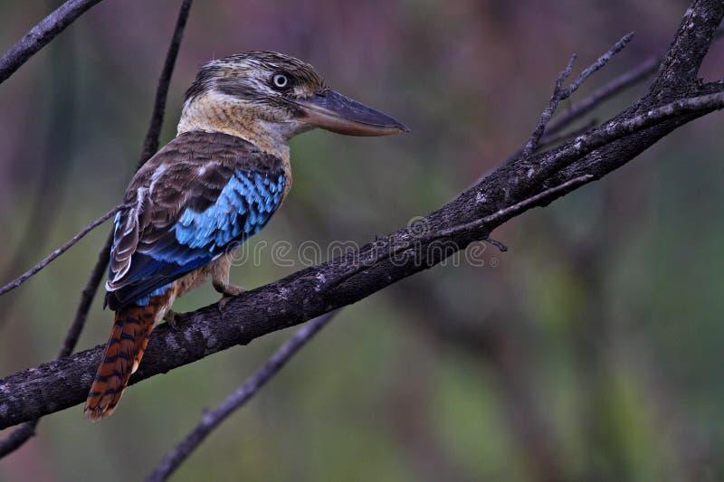 Blau-winged kookaburra, Kakadu Nationalpark stockfoto