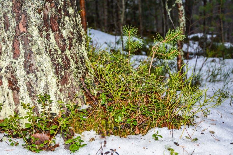Blaubeerbüsche am Fuß des Baums lizenzfreie stockfotos