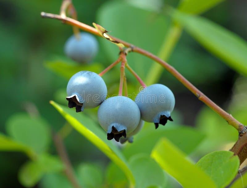 Blaubeere auf Zweigen eines Busches lizenzfreies stockbild