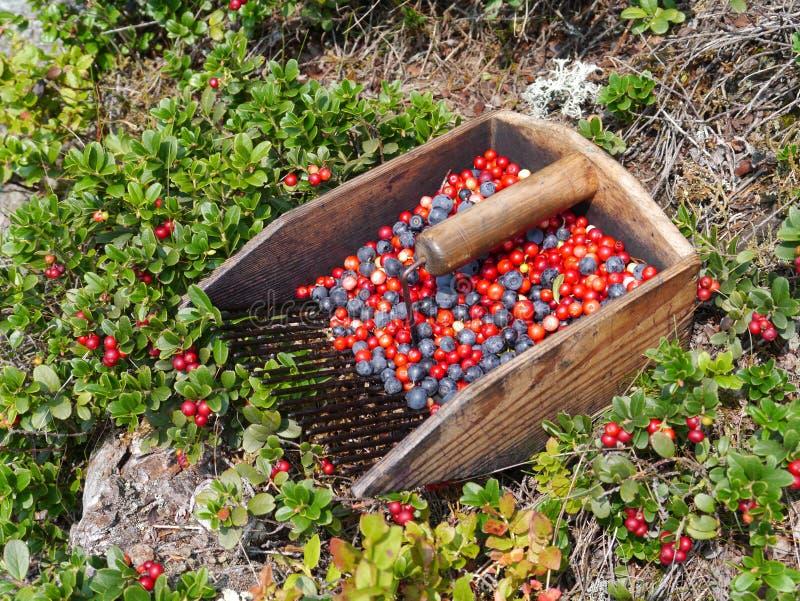 Blaubeere und Lingonberryernte und -büsche lizenzfreies stockbild