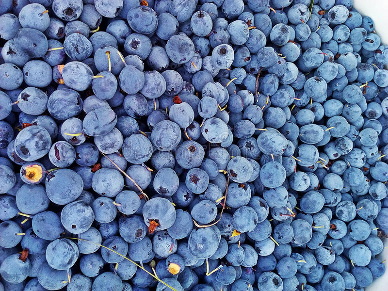 blaubeeren stockbilder