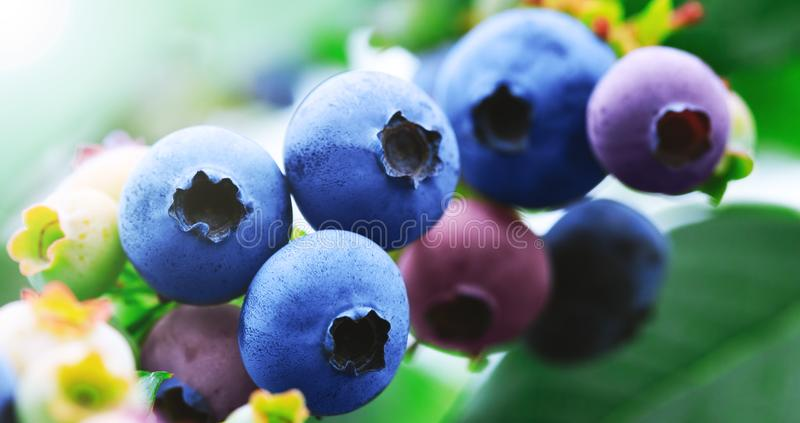 Blaubeerniederlassung mit blauen reifen Blaubeeren Köstliches und gesundes Beerenobst Blaubeerfeld, -obstgarten oder -garten im S lizenzfreie stockfotografie