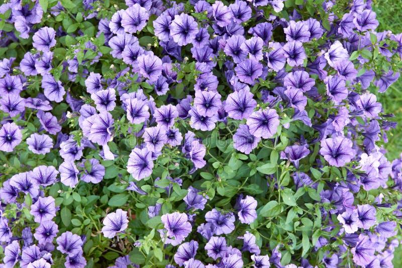 Blaue Ader Surfinia lizenzfreie stockbilder