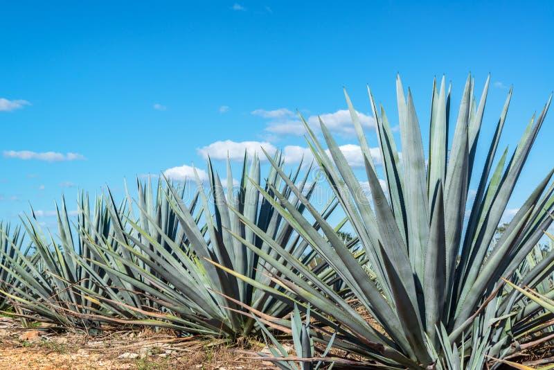 blaue agave und blauer himmel stockfoto bild von yucatan reise 89991134. Black Bedroom Furniture Sets. Home Design Ideas