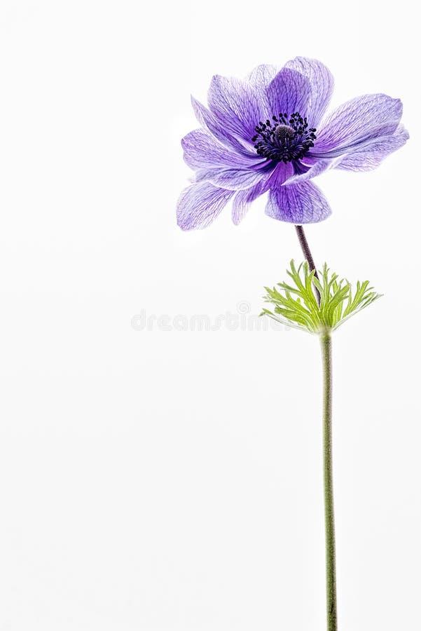 Blaue Anemone lokalisiert auf Weiß stockfotografie