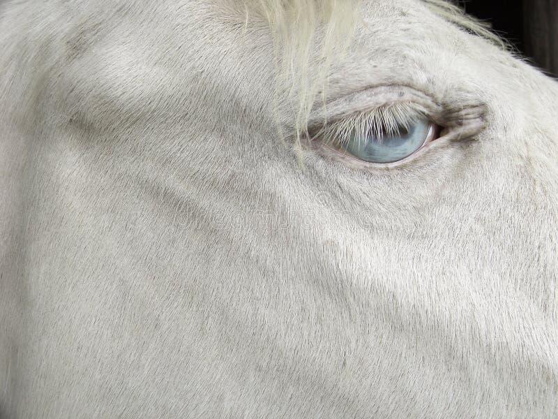 Blaue Augen der weißen cremello Pferdeblonden Mähne lizenzfreie stockfotos