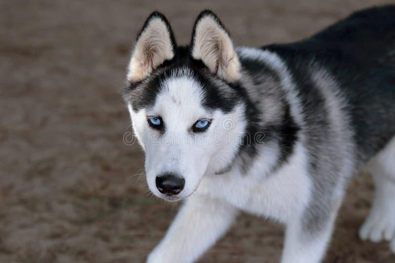 Blaue Augen des Schlittenhunds lizenzfreies stockbild