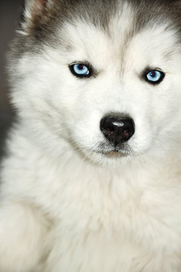 Blaue Augen des sibirischen Schlittenhunds lizenzfreie stockfotos