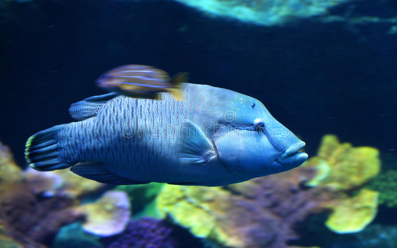 Blaue Barsch-Fische stockbild