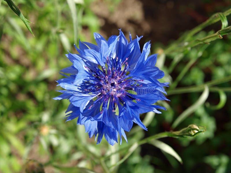 Blaue Blume. stockfotografie