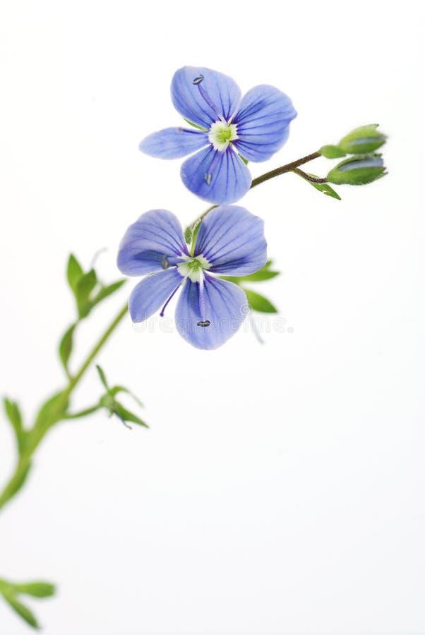 Blaue Blume Auf Einem Weißen Hintergrund Stockfoto - Bild von nave ...