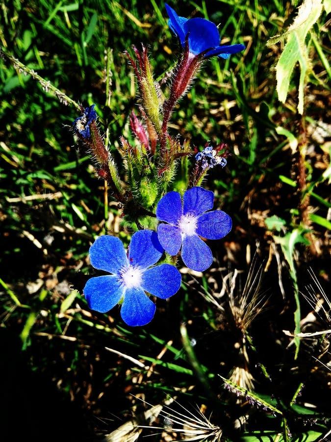 Blaue Blume lizenzfreie stockfotos