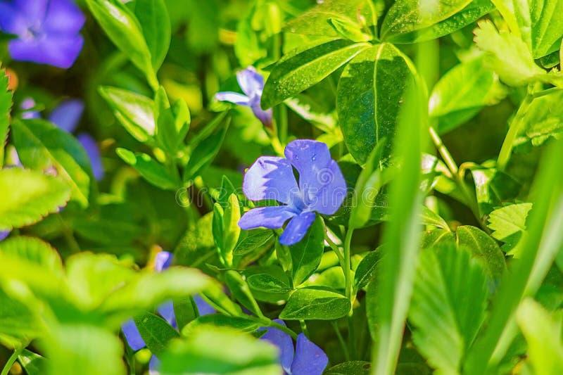 Blaue Blume im Gras lizenzfreies stockfoto