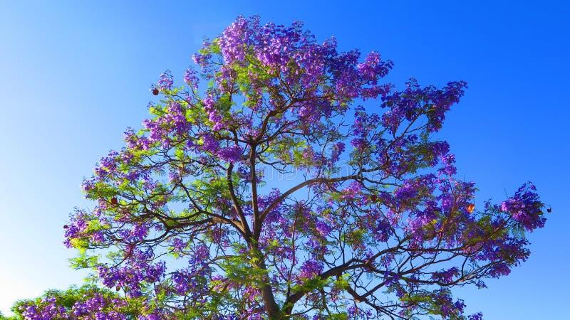 Blaue Blumen auf Jacarandabaum im andalusischen Dorf lizenzfreie stockfotografie