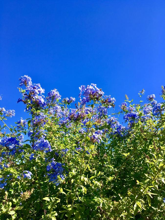 Blaue Blumen-blauer Himmel lizenzfreies stockfoto
