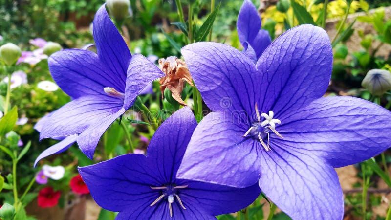 Blaue Blumen im Garten lizenzfreies stockfoto
